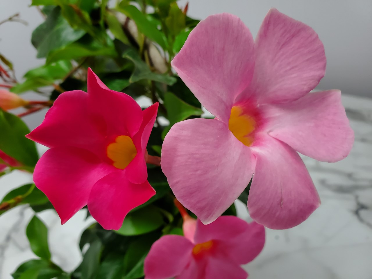Dipladenia Trellis Pretty Pink Suntory 1 Gallon