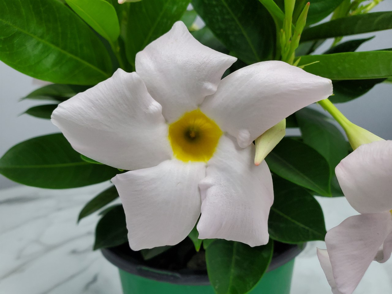 Dipladenia Bush White Sundenia 1 Gallon