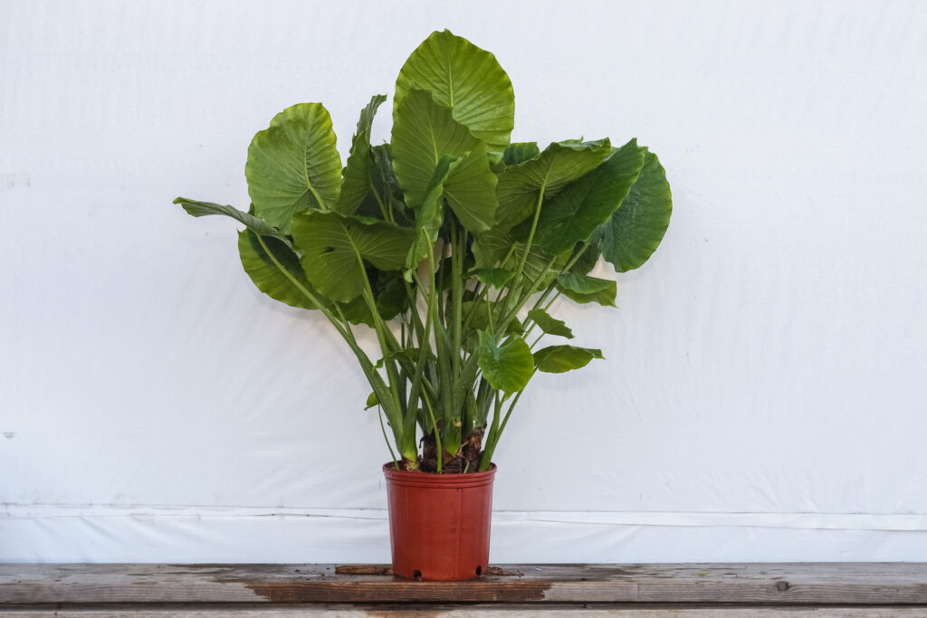 Alocasia California Plant