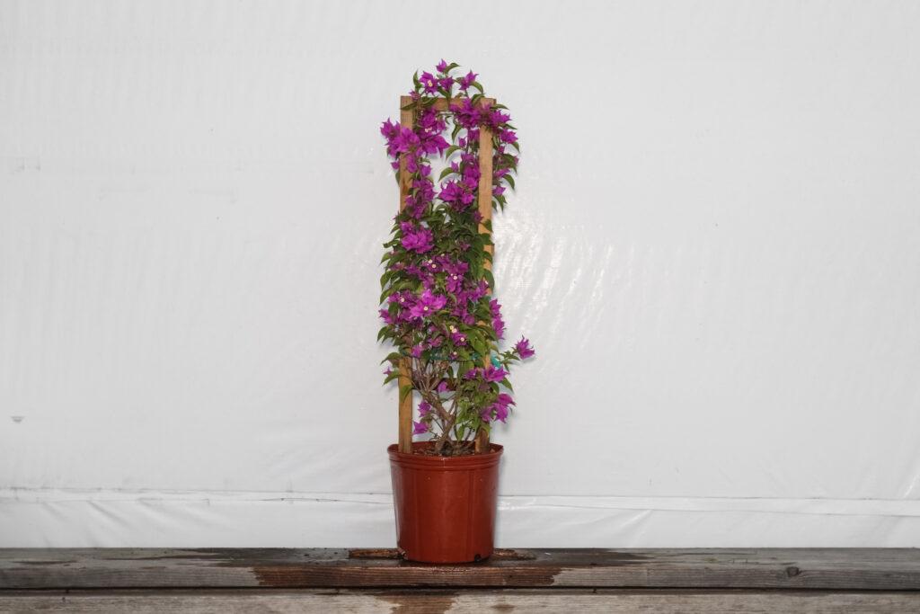 Bougainvillea Trellis Purple