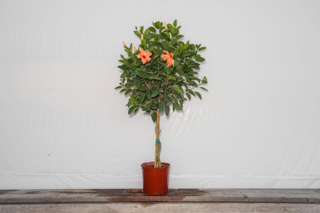 Braided Hibiscus Tree Peach Single