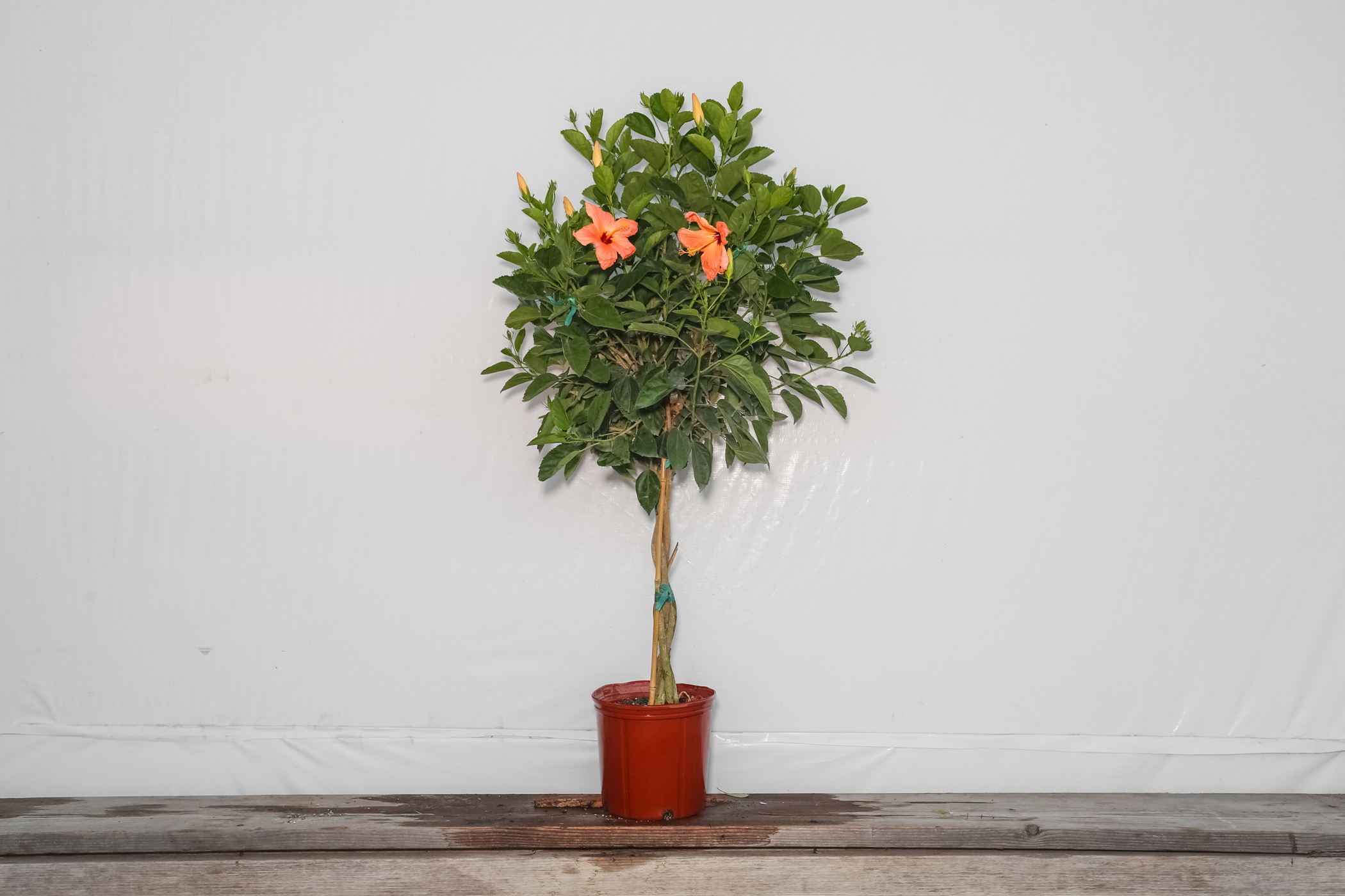 Braided Hibiscus Tree Peach Single 3 Gallon