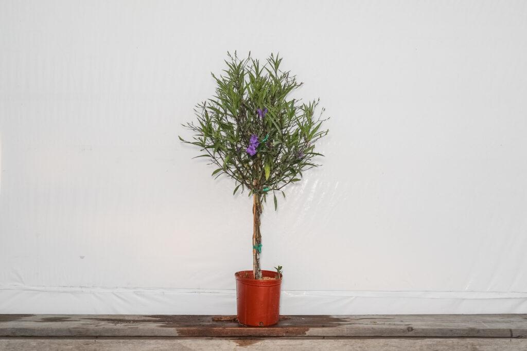 braided ruellia tree