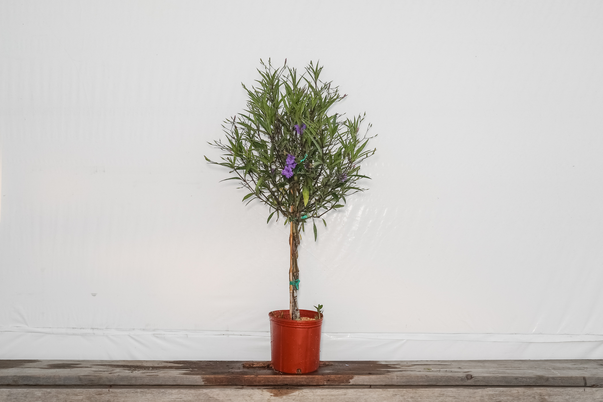 Braided Ruellia Tree Mexican Petunia 3 Gallon
