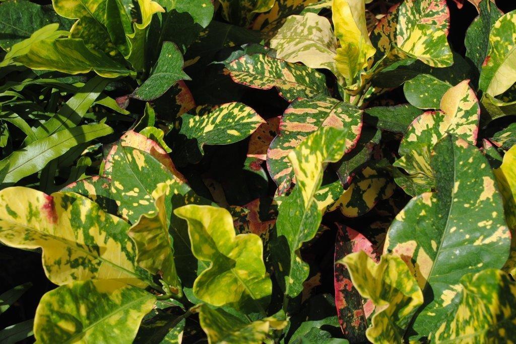 Croton Magnificent 3 Gallon