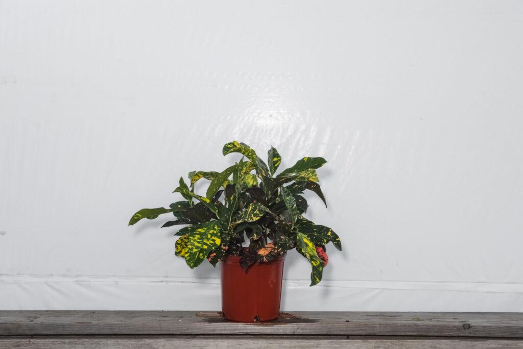 Croton Magnificent Wholesale