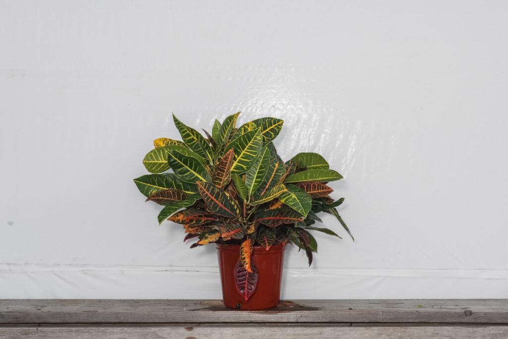 Croton Petra Plant Wholesale