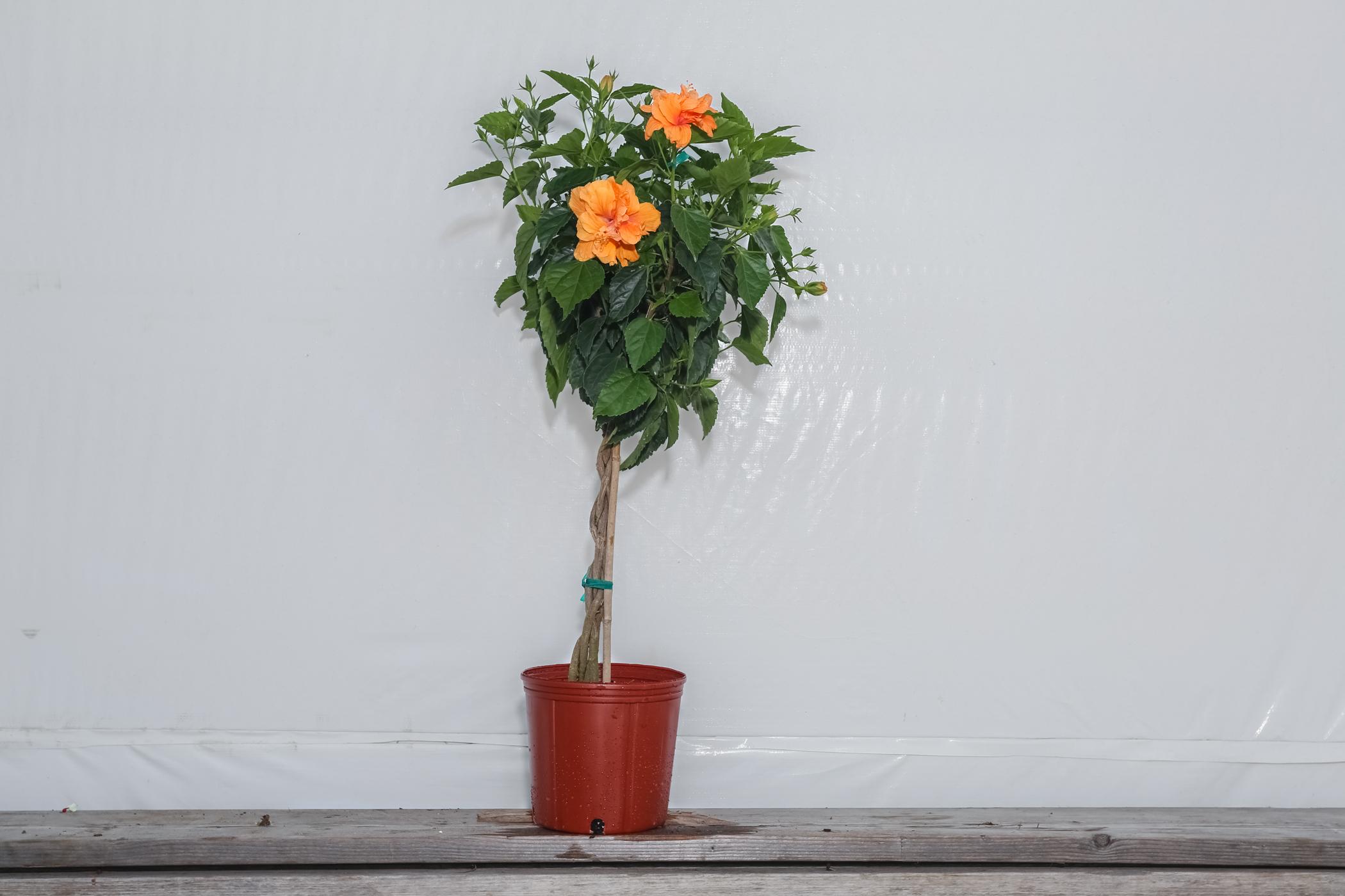 Hibiscus Standard Peach Double Flower Tree 3 Gallon