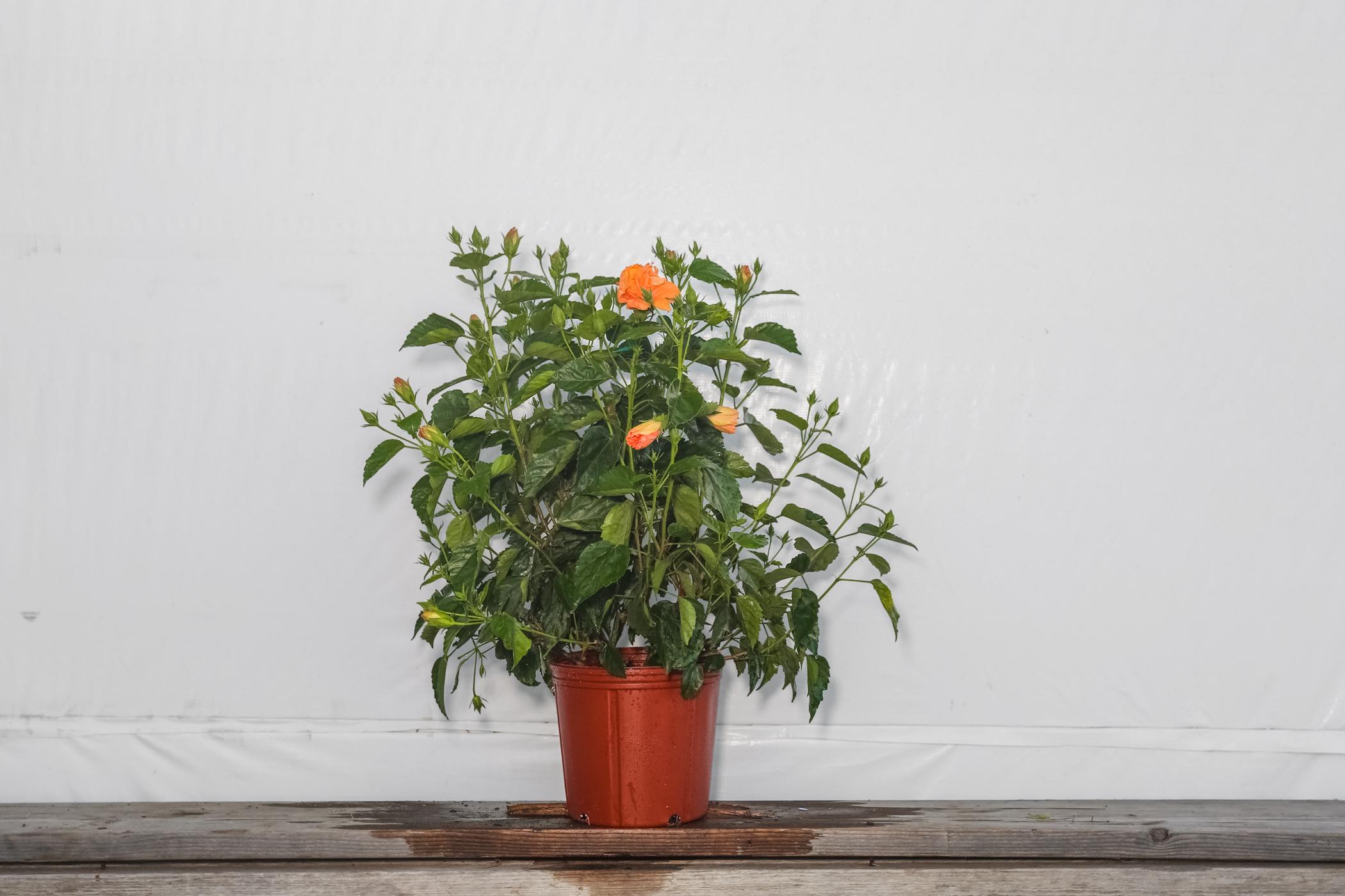 Hibiscus Bush Double Peach 3 Gallon