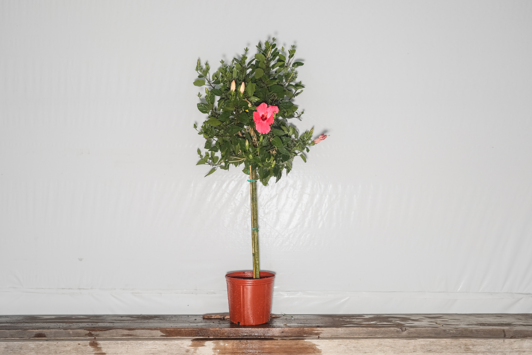 Hibiscus Standard Pink Painted Lady Tree 3 Gallon