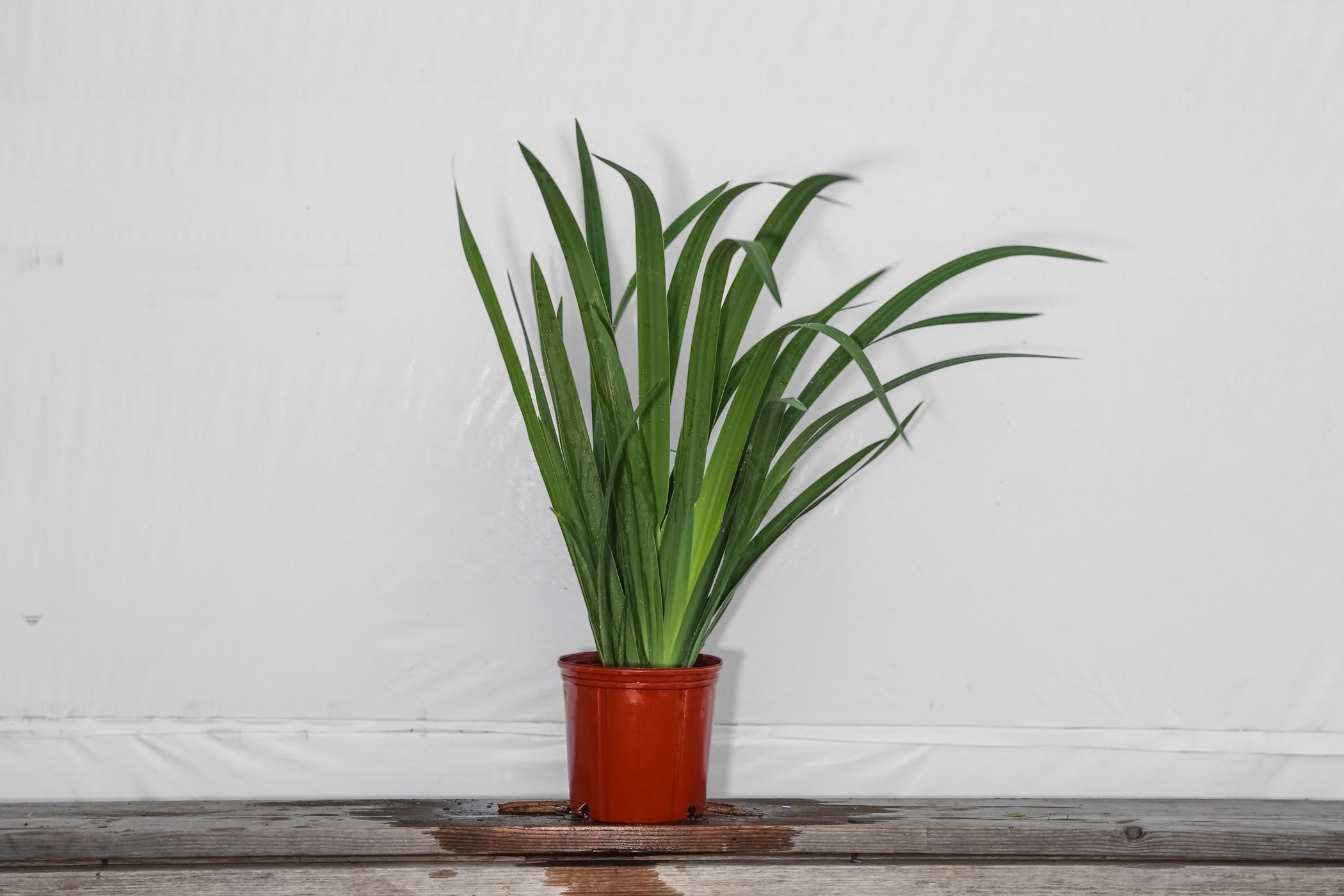 Iris Regina Brazilian Orchid 3 Gallon