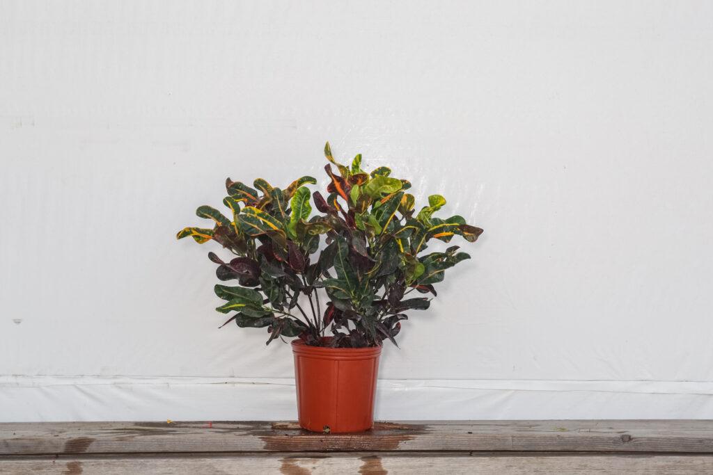 Croton Mammy Plant Wholesale