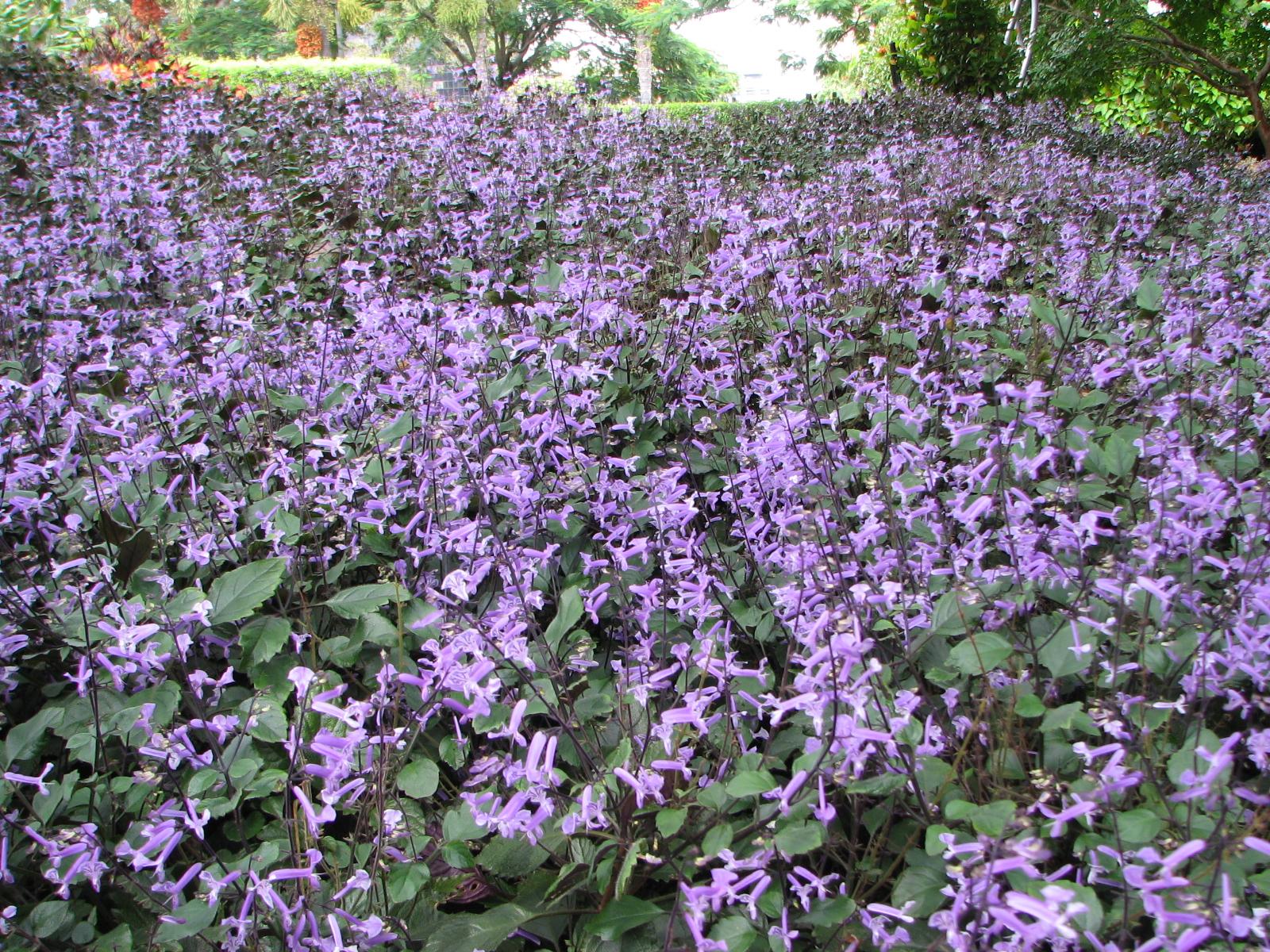 Mona Lavender Plectranthus 3 Gallon