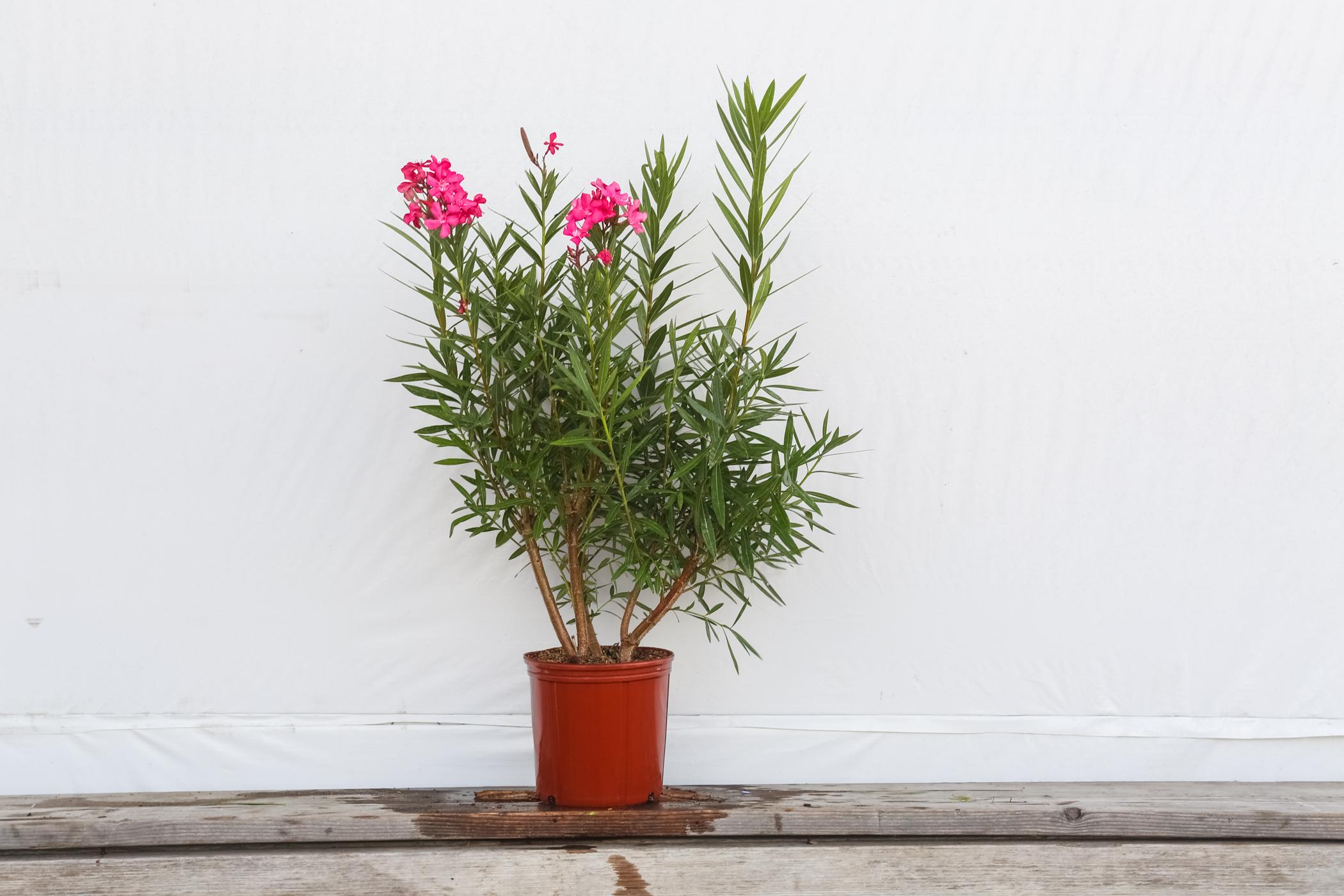 Oleander Bush Calypso Pink 3 Gallon