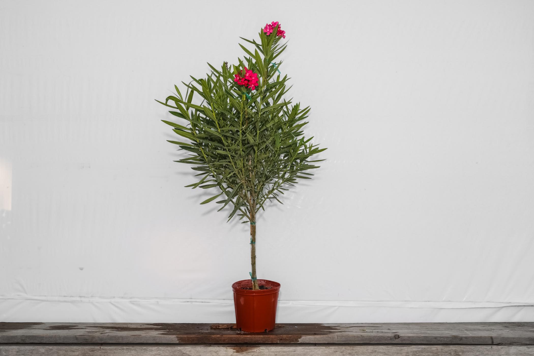 Oleander Pink Tree Standard 3 Gallon