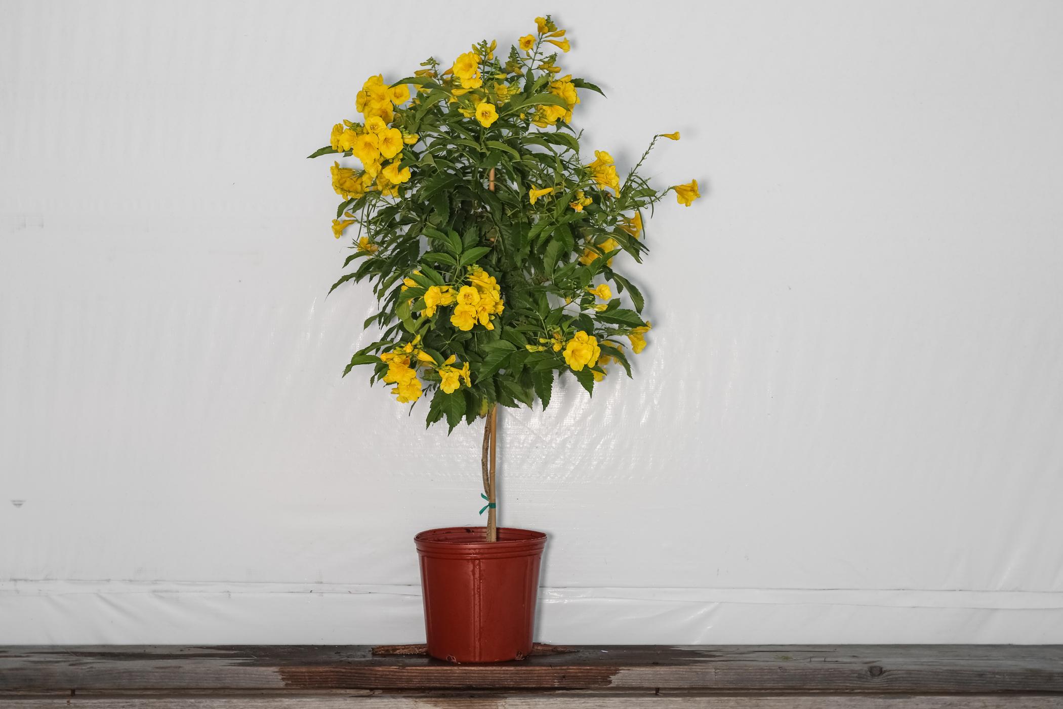 Esperanza Yellow Elder Tree 3 Gallon