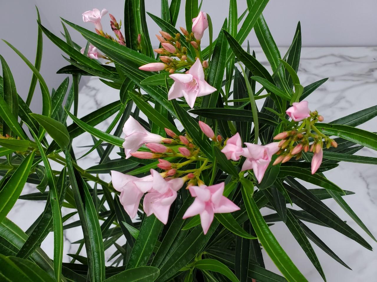 Oleander Bush Petite Pink 3 Gallon