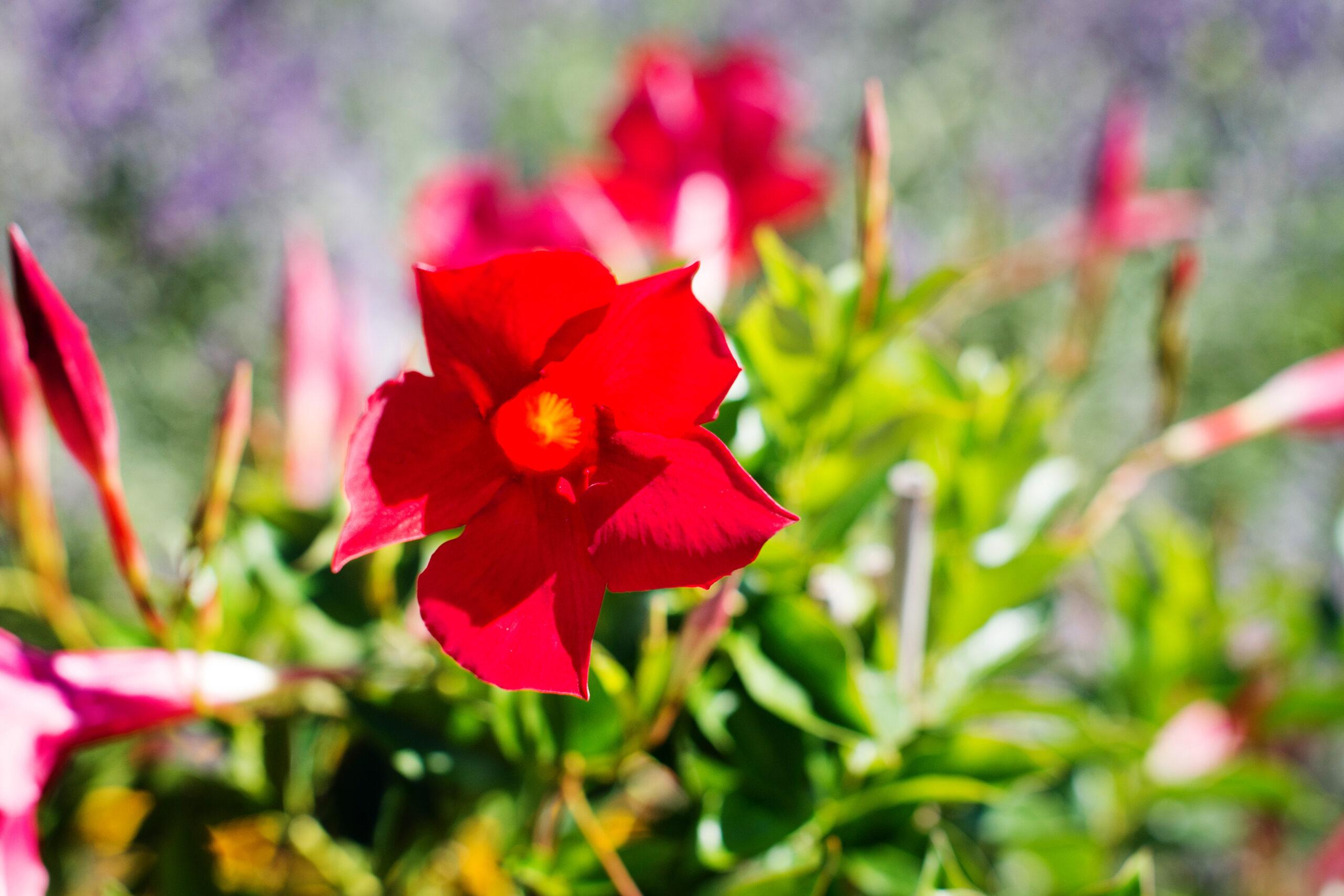 Dipladenia Trellis Pretty Red 3 Gallon