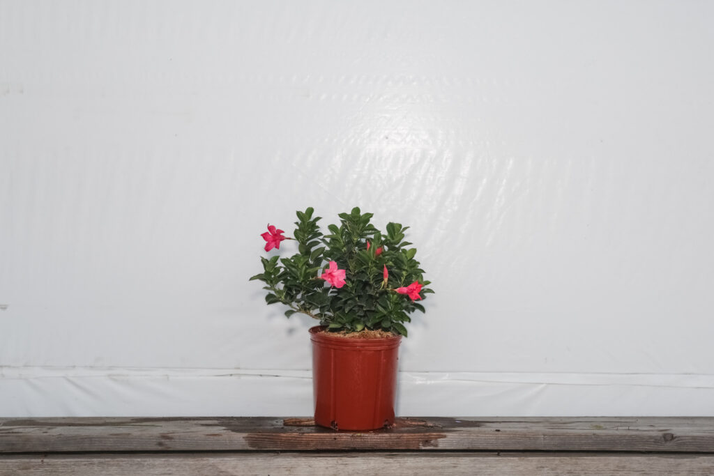 Dipladenia Bush Pink