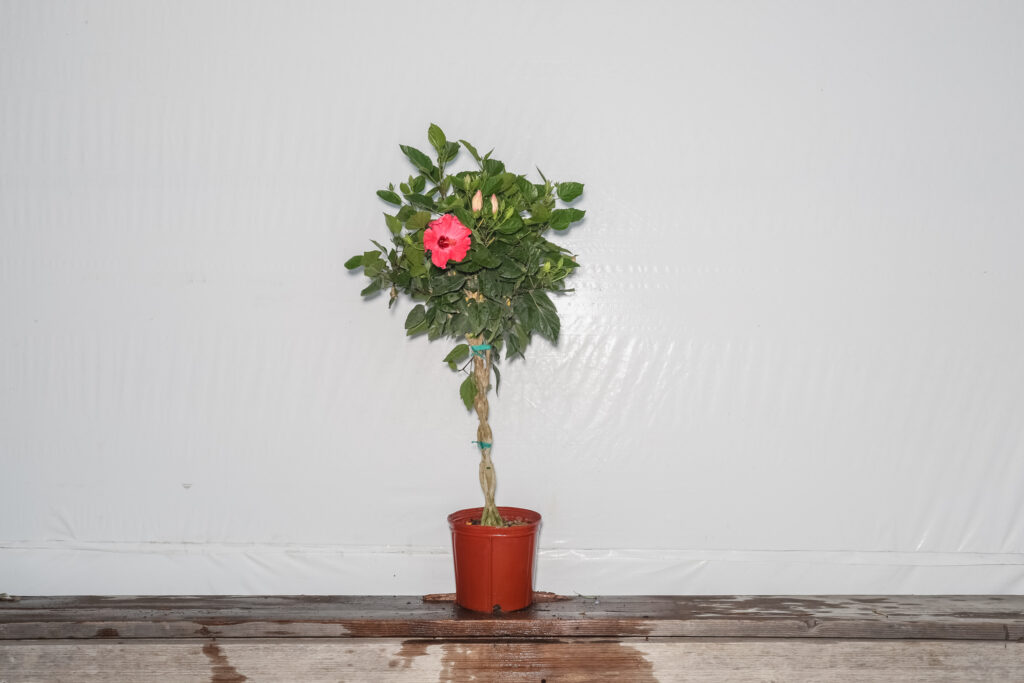 braided hibiscus tree pink painted lady