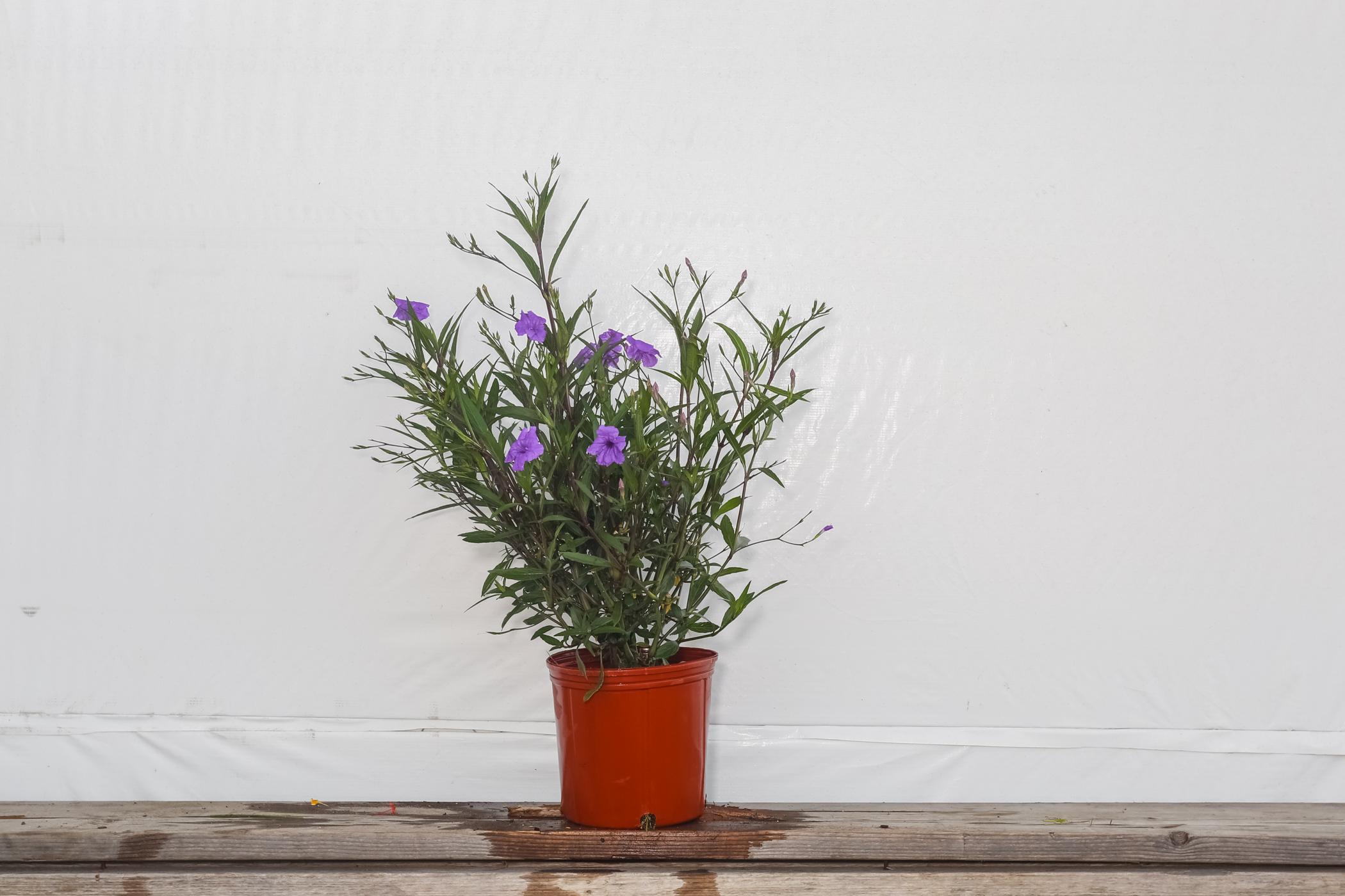 Ruellia Purple Showers 3 Gallon