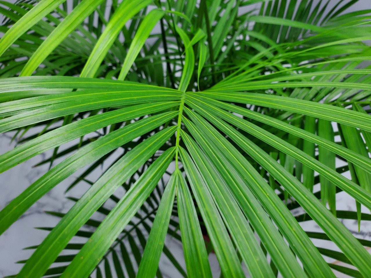 Majesty Palm 7 Gallon