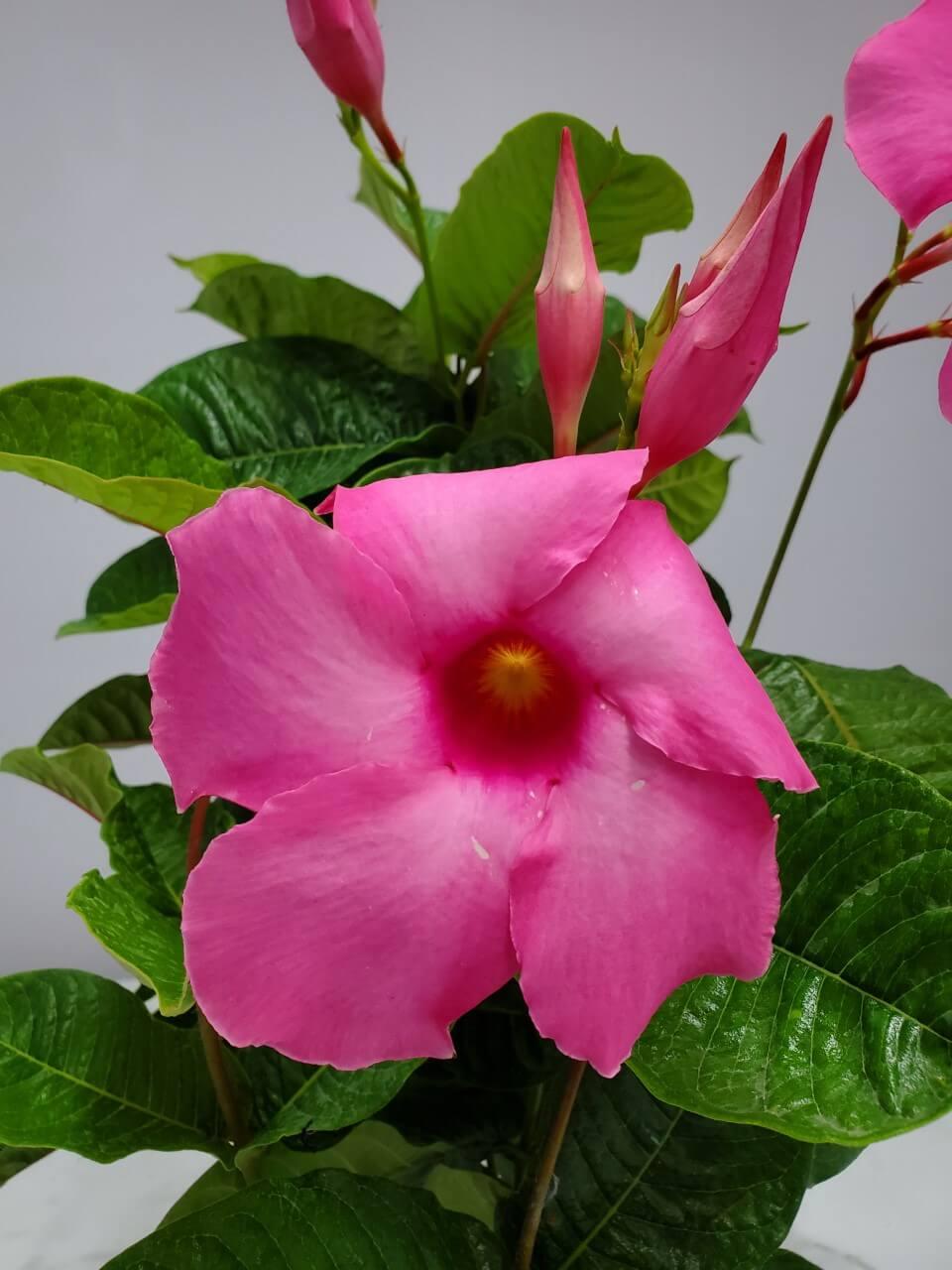 Mandevilla Trellis Pink Alice Du Pont 1 Gallon