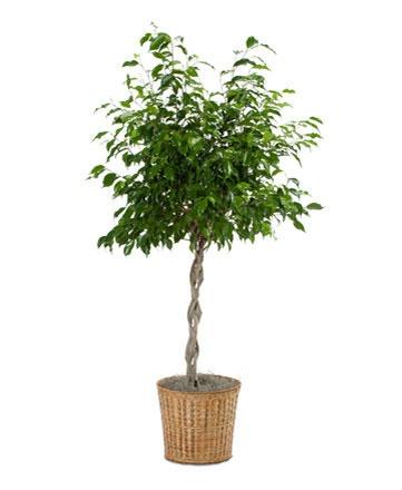 Ficus Wintergreen Braid