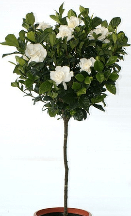 Gardenia Aimee Standard Tree