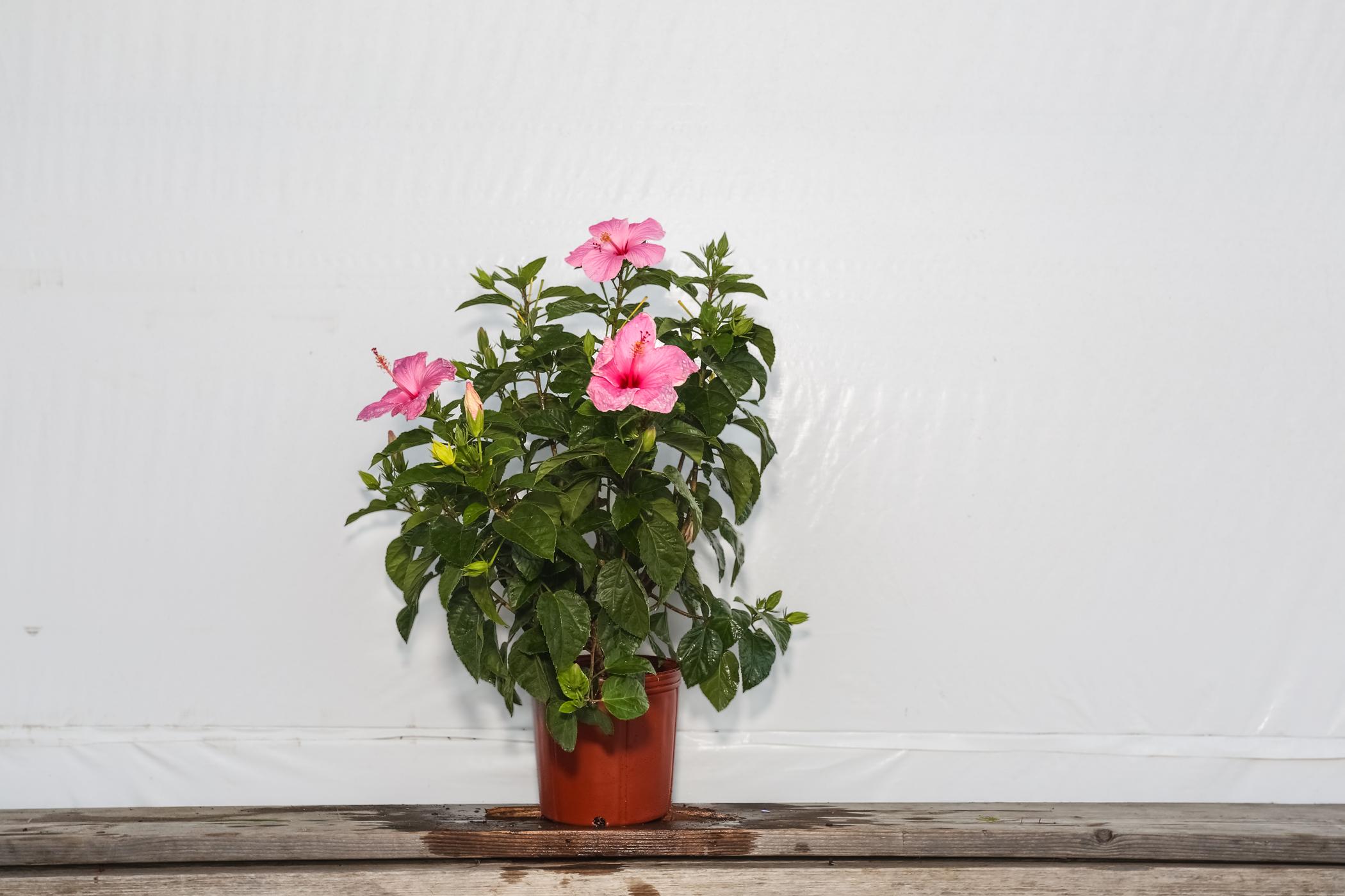 Hibiscus Bush Seminole Pink 3 Gallon