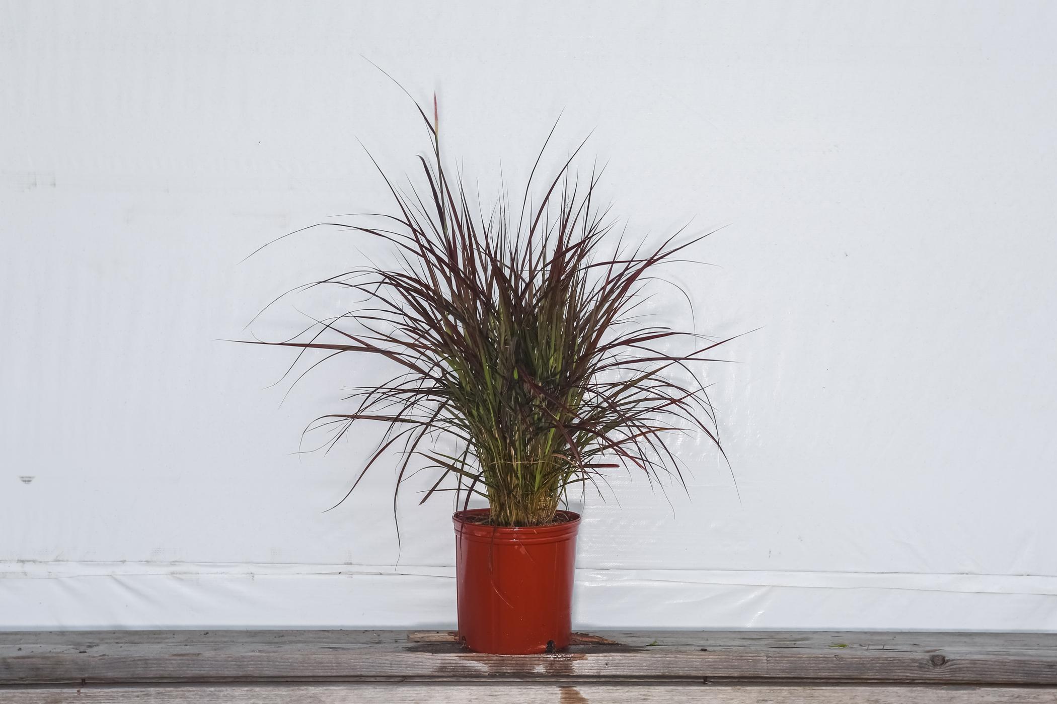 Red Fountain Grass 3 Gallon