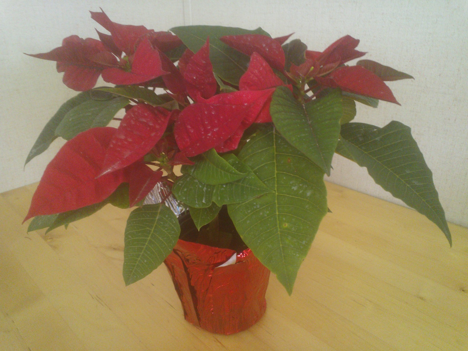 Freedom Red Poinsettias 4Inch