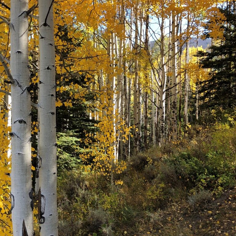 Aspens with yellow leaves