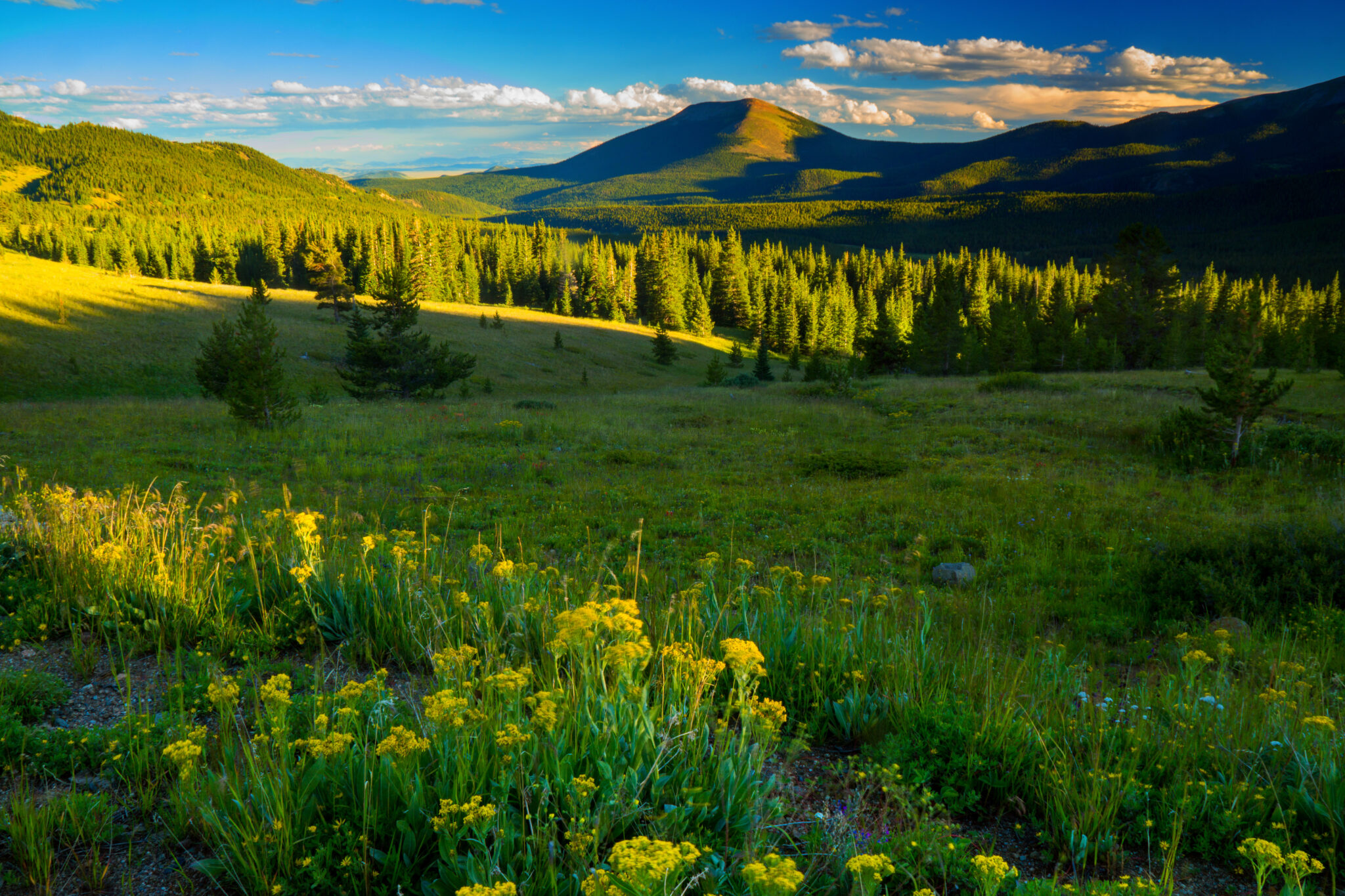 Boreas Pass outside of Breckenridge, Colorado shows off its beautiful summer wildflowers in the evening light beneath the Rocky Mountains
