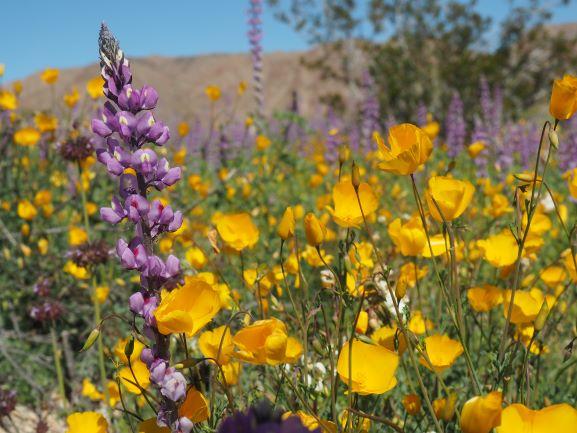 Joshua-Tree-National-Park-Bajada-Trail-Flowers