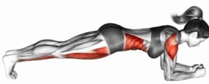 illustration of what muscles are used in a plank exercise