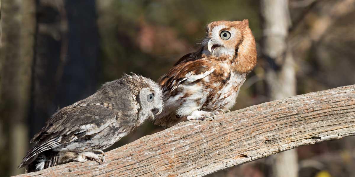 Couple of Screech Owls Screeching!