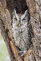 Screech Owl in a Tree
