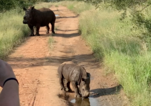 bay rhino in kruger