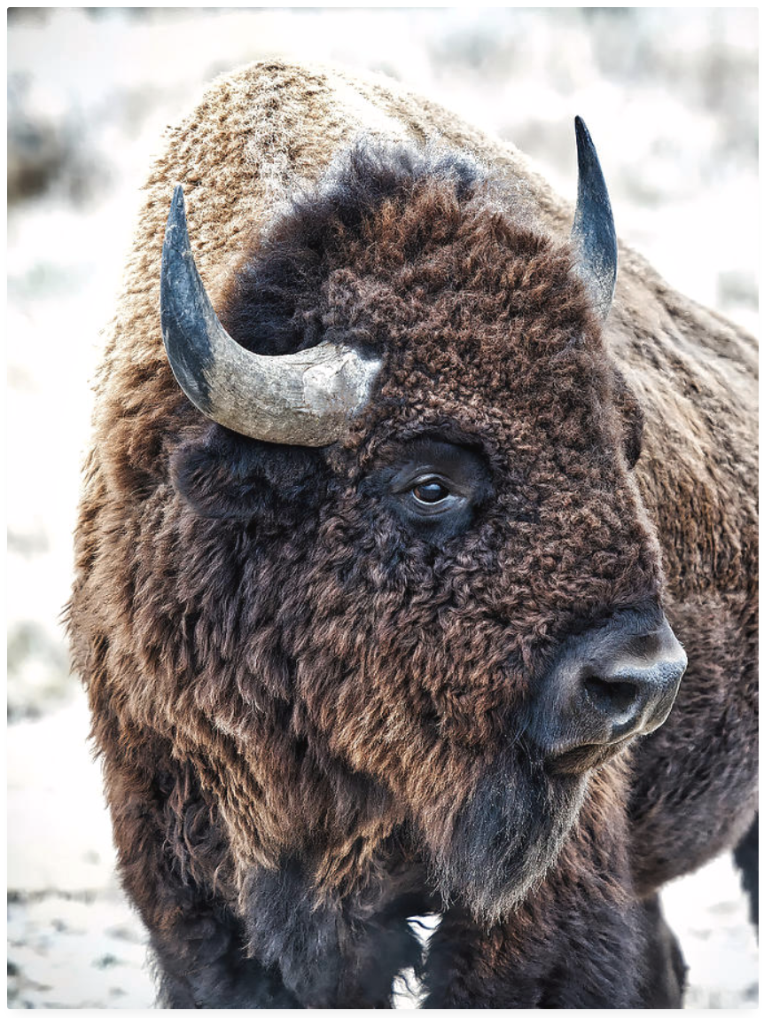 In The Presence Of Bison
