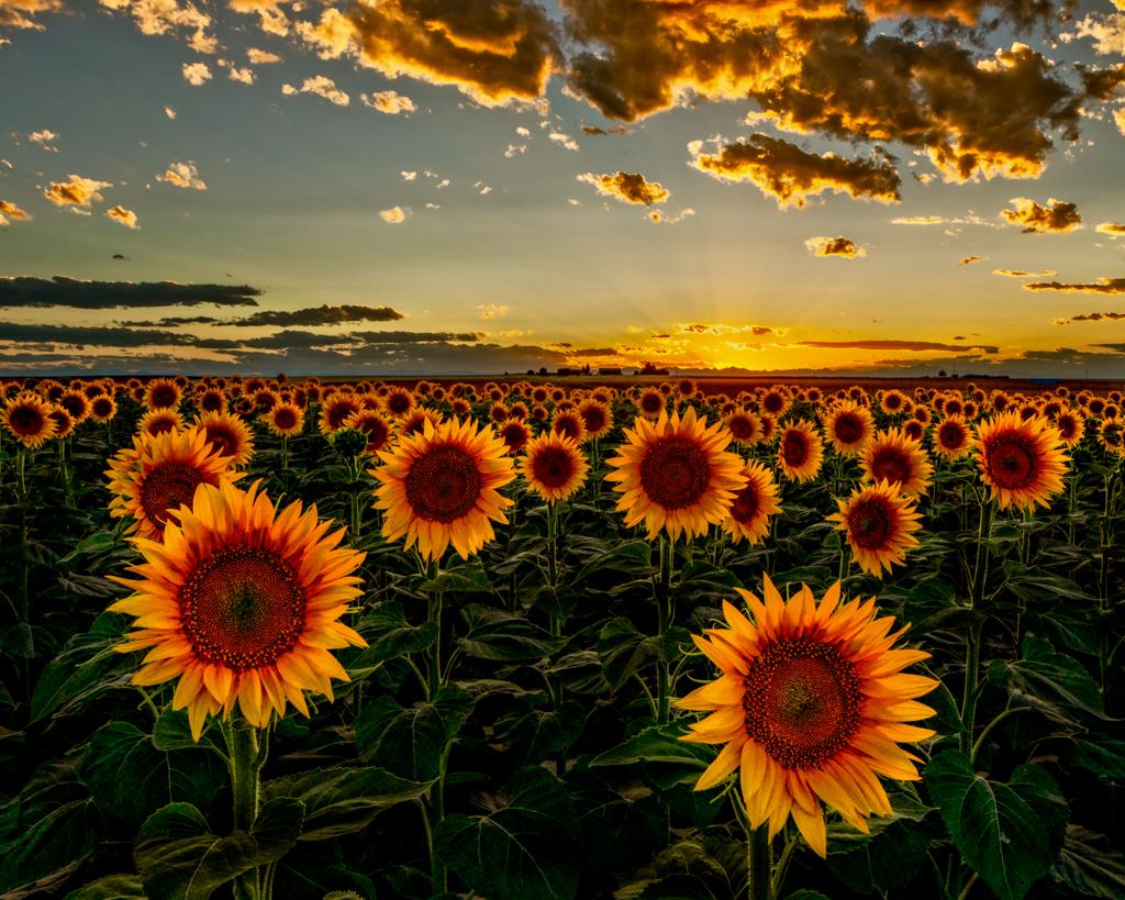 bfc-sunflower-sunset