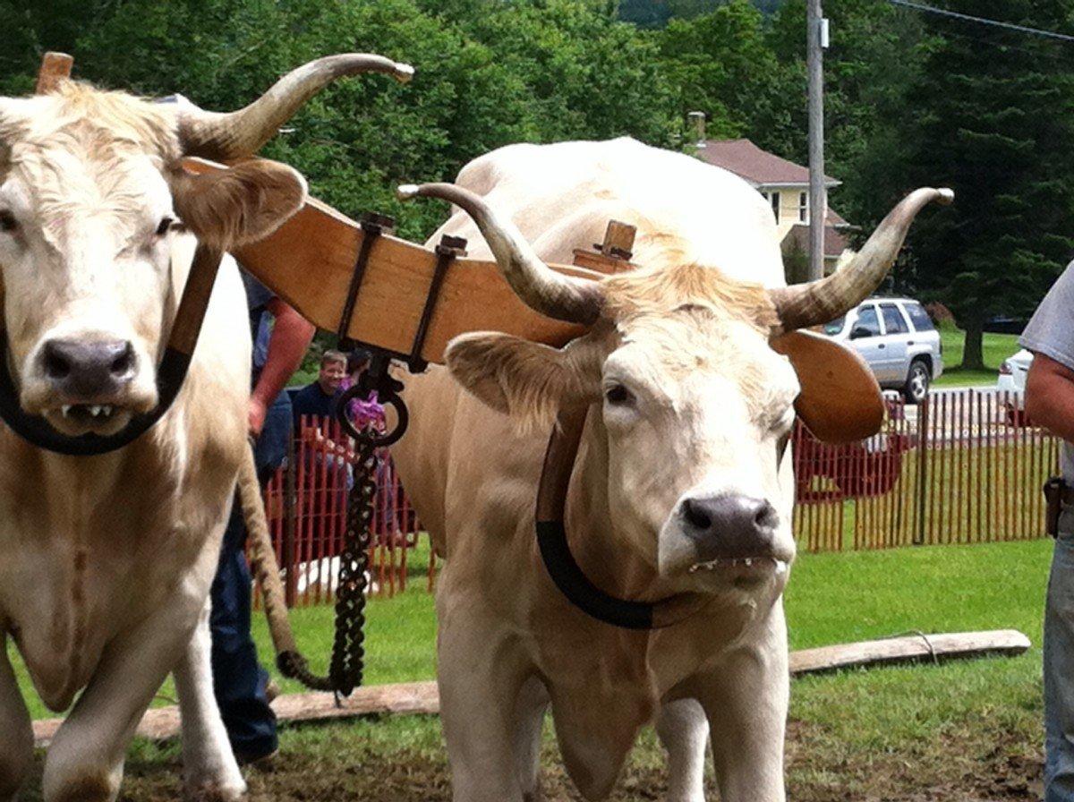 Oxen at Hanover Center Fair