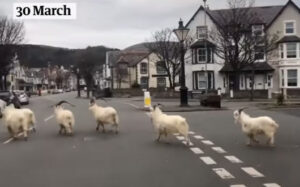 """Mother Nature points out that thanks to the wonderful news about the Coronavirus, goats are now roaming around this town in Wales, where they've not been seen in ages. """"Primroses are quite tasty,"""" say the goats."""