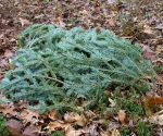 Christmas tree branches in leaves.