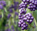 9 Berries to Brighten Up Your Winter Garden