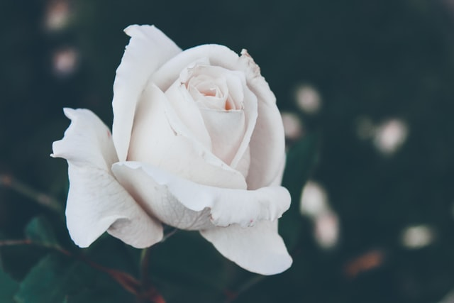 closeup on bud of white rose
