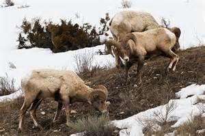 YNP Sheep
