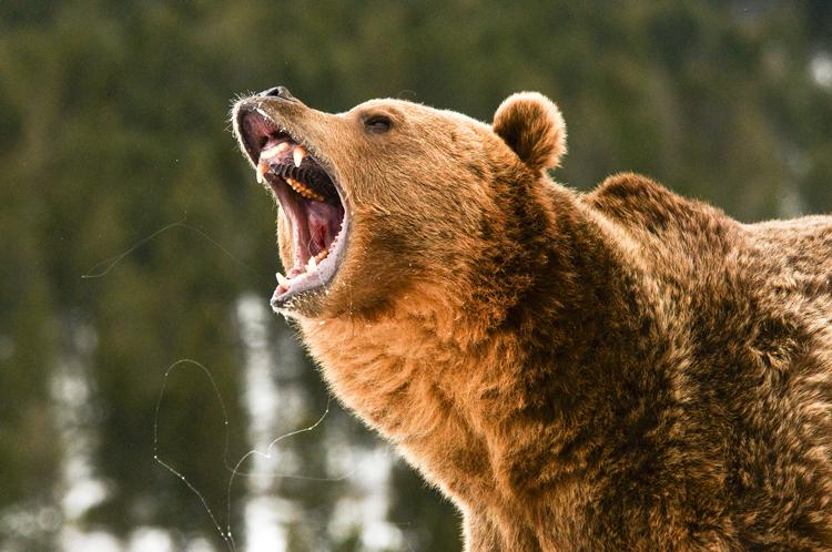 Grizzlies Bold Behavior