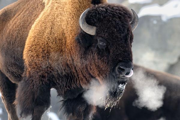 Bison Riled Up In Park