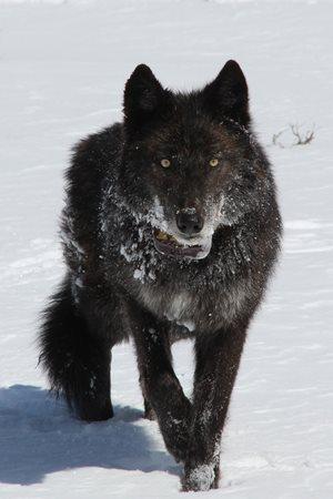 Wolves Killed After Eating Livestock
